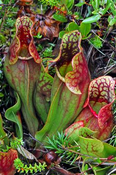 The carnivorous North American Sarracenia Pitcher plants Sarracenia purpurea