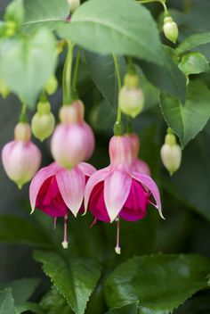 Fuchsias are good house plants in a location with bright light. Here in the desert, grow them outdoors on a shady patio protected from the wind.