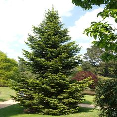 Abies Nordmanniana - 1 tree Buy online order yours now