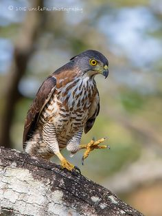Crested Goshawk (Accipiter trivirgatus) | Flickr - Photo Sharing!