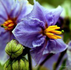 Solanum elaeagnifolium / Silverleaf Nightshade