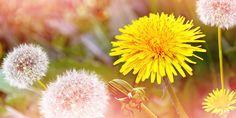 Power van de Paardenbloem Dandelion, Flowers, Plants, Dandelions, Flora, Planters, Royal Icing Flowers, Flower, Blossoms