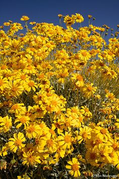 Brittlebush along Christmas Tree Pass Road,Nevada BIBLE IN MY LANGUAGE