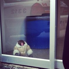 Shearling-coat-wearing monkey found wandering around Canadian IKEA. (Instagram photo by Lisa Lin) God bless Canada,