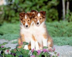Shetland Sheepdog Puppies UK
