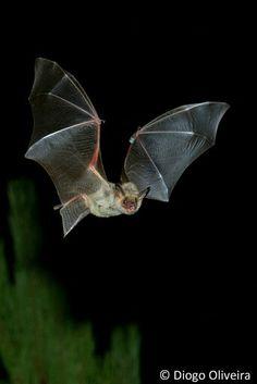 Vampire bat Bat Animal, Bat Flying, Vampire Bat, Bats, Mammals, Habitats, Foxes, Illustration, School Projects
