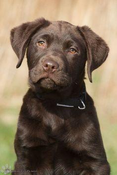 Chocolate Labrador Retriever Puppy Dogs Brown Lab