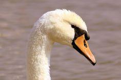 Yvonne+Jagers+-+Zwaan Bird, Photography, Animals, Photograph, Animales, Animaux, Birds, Fotografie, Photoshoot