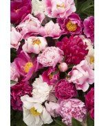 Cottage Mix Herbaceous Peony
