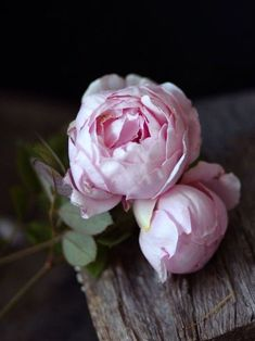 English rose, Brother Cadfael - often mistaken for peonies. I love flowers with tons of petals! Would love to have these in a garden someday. Rosas David Austin, David Austin Rosen, My Flower, Pretty Flowers, Beautiful Roses, Cactus Flower, House Beautiful, Simply Beautiful, Peony Flower