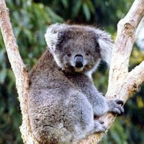 The koala is an arboreal herbivorous marsupial native to Australia. It is the only extant representative of the family Phascolarctidae, and its closest living relatives are the wombats. Koala Marsupial, Quokka, Ranger, Animals Beautiful, Cute Animals, The Wombats, Koala Bears, Wild Creatures, Australian Animals