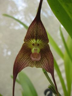 Look at his creation.A monkey Orchid! Love his sense of humor! Strange Flowers, Rare Flowers, Beautiful Flowers, Unusual Flowers, Trees And Shrubs, Trees To Plant, Monkey Orchid, Weird Plants, Summer Garden