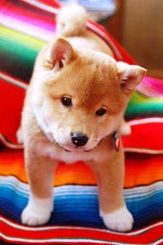 What a cute Shiba Inu!