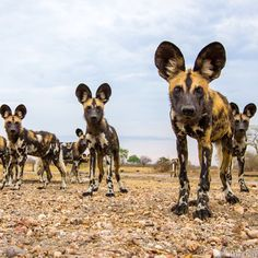 A pack of curious African wild dogs, photographed with #BeetleCam. South Luangwa National Park, Zambia