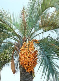 Palmeira Butiá-da-Praia (Butia capitata). Frutos comestíveis.