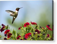 Hummingbird Frolic With Flowers Acrylic Print by Christina Rollo.  All acrylic prints are professionally printed, packaged, and shipped within 3 - 4 business days and delivered ready-to-hang on your wall. Choose from multiple sizes and mounting options.