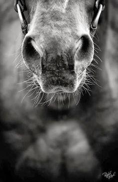 Scraptus: Les chevaux