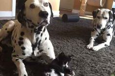 This Video Of A Tiny Foster Kitten Fearlessly Playing With Two Huge Dalmatians Is Adorable