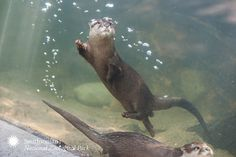 Asian Small-Clawed Otter by Smithsonian's National Zoo, via Flickr