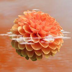 Dahlia Dahlie, Blume, Blüte, Natur, Pflanze, Blumen