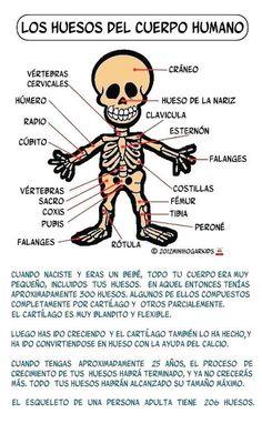 1000 images about huesos humanos on pinterest dibujo for Nombre del sillon de los psicologos