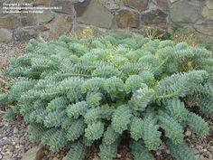 Full size picture of Creeping Spurge, Donkey Tail, Myrtle Spurge (Euphorbia myrsinites)