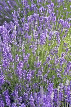 Plant piles of purple Lavender in your garden for an aromatic display that enjoys the sunlight and relatively dry soil. Plus, it could stand up to a drought.
