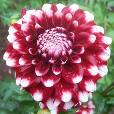 Big checkersryan c this is a nice large maroon dahlia with checkers dahlia deep red flower with white tips lots of flowers on a slender mightylinksfo