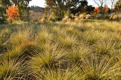 Festuca mairei - Greenlee and Associates ... Oudolf