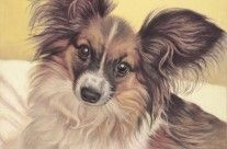 Papillon Sparkle, colored pencil drawing by Helen Bailey