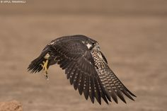 Peregrine Falcon Peregrine Falcon, Vertebrates, Birds Of Prey, Raptors, Falcons, Eagles, Cool Photos, Hawks, Wings