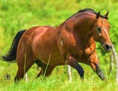 American Quarter Horse, Quarter Horses, Horse Photos, Horse Pictures, Appaloosa, Horse Love, Donkeys, Horse Stuff, My Ride