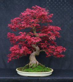 Érable japonais deshojo, Acer palmatum deshojo