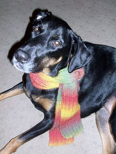 Lola Doing Her Best Amelia Earhart, modeling a #handknit scarf with style and grace #DogMomsWhoKnit #DobermanMix #MyBabyGirl - Lapdog Creations http://www.lapdogcreations.com/