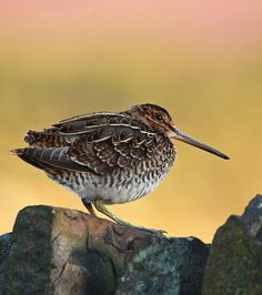 Snipe sat in the road just out of the snow near Darwin Forest on January 2015 Kinds Of Birds, All Birds, Love Birds, Pretty Birds, Beautiful Birds, Cairngorms, British Wildlife, Wild Creatures, Shorebirds