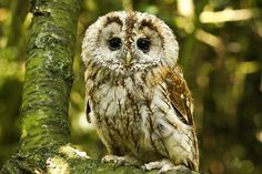 Tawny Owl (Strix aluco) Quite tame after 3 years meeting people. Has since retired. Owl Photos, Owl Pictures, Strix Aluco, Tawny Owl, World Birds, Beautiful Owl, Owl Art, Baby Owls, Cute Owl