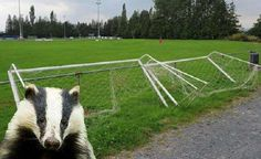 Twitter / Search - badgers goalposts