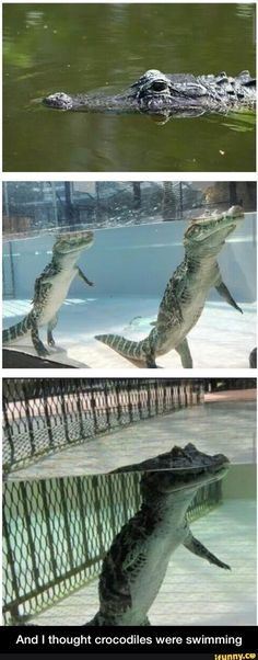 And I thought crocodiles were swimming