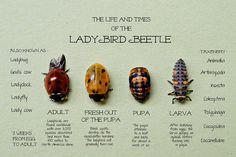 A Ladybird Beetle Primer   Flickr - Photo Sharing!