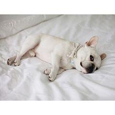 Theo Bonaparte, the French Bulldog, @theobonaparte on instagram