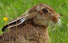 Brown_Hare_08_3_email http://www.wildaboutbritain.co.uk/pictures/showphoto.php/photo/65399/size/big/cat/