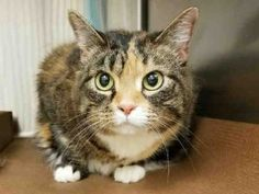 SASSY - A1114887 - URGENT - Manhattan Center in New York - ADOPT OR FOSTER - 11 year old Female Tabby - Sassy and her housemates were dumped for allergies!  PLEASE CONSIDER ADOPTING SASSY, HER SISTER TAHJI, AND HER FOGGIE SISTER, NALA!