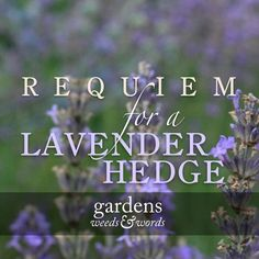 I've finally found the resolve to tackle a task I should have grappled with months ago – removing a lavender hedge past its best. But, as it was the very first thing we planted in our blank canvass garden when we moved here ten years ago, I'm allowing myself a little trip down memory lane.  #garden #gardens #gardening #plants #flowers #lavender