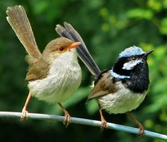 Superb Fairy Wrens    A male and female superb fairy wren pair, singing and dancing in synchrony. Normally these birds are hard to photograph, but at Mt Tomah NSW Australia, they have not learned to fear photographers.