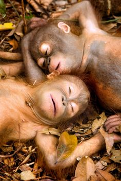 Orphaned baby orangutans safe to sleep in peace