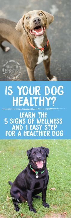 In Celebration of National Dog Day, Let's talk about dog health! Is your Dog Thriving or Just Surviving? Learn the 5 Signs of Dog Wellness & How to Achieve them! http://www.healthstartsinthekitchen.com/2016/08/26/5-signs-healthy-dog/?utm_campaign=coschedule&utm_source=pinterest&utm_medium=Hayley%20%40%20Health%20Starts%20in%20the%20Kitchen&utm_content=Is%20your%20Dog%20Thriving%20or%20Just%20Surviving%3F%20Learn%20the%205%20Signs%20of%20Dog%20Wellness%20and%20How%20to%20Achieve%20them%21