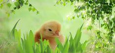 Küken im Gras - Küken im Gras
