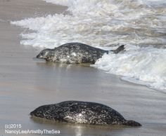 Harbor seals (many who are pregnant) coming up to rest after being in giant King Tide waves.  La Jolla, San Diego www.nldesignsbythesea.com