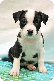 Hagerstown, MD - American Pit Bull Terrier/Border Collie Mix. Meet Havan, a puppy for adoption. http://www.adoptapet.com/pet/17884380-hagerstown-maryland-american-pit-bull-terrier-mix