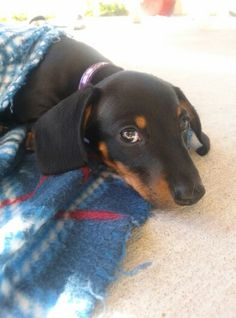 Our Haley at nine weeks! Miniature Dachshunds, Weiner Dogs, Animals, Beautiful, Diy Dog, Animales, Animaux, Weenie Dogs, Animal